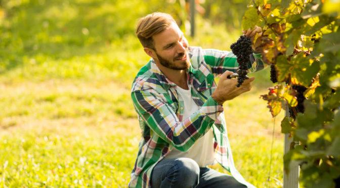 grapevine rootstock